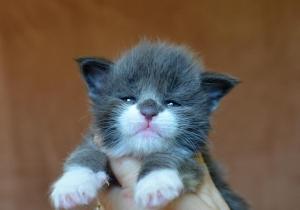 Dnes jsem přidala nové fotky koťátek - vrh  U
